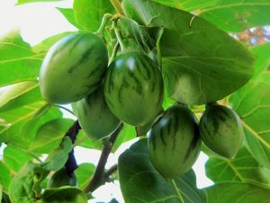 Tamarillo- Tree Tomato fruit